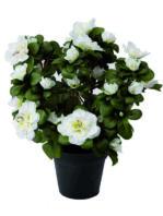 Pianta azalea bianca.