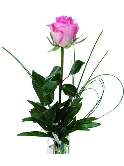 Una rosa rosa.