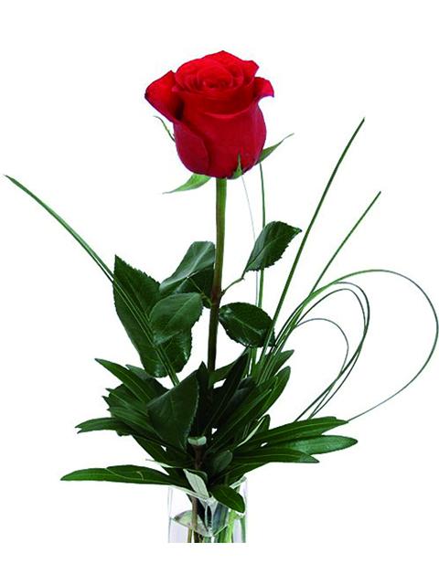 Una rosa rossa.