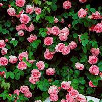 rose come coltivarle
