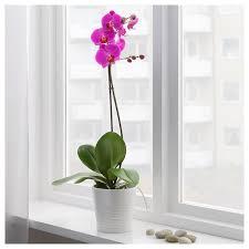 orchidea consigli e cura